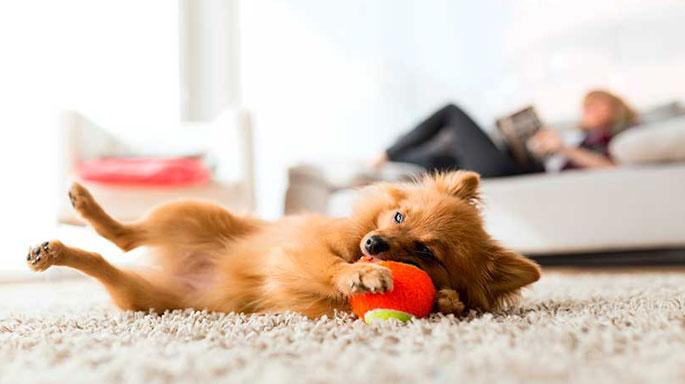 perro-mascota-jugando-casa